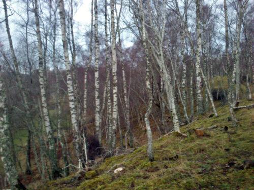Balliefurth Birch Woodland